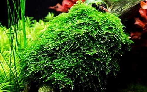 Aquarium Plants That Grow On Wood